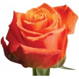 Роза Orange-Crush 60 см