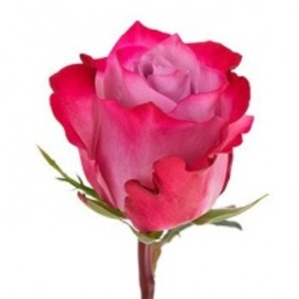 Роза Deep Purple 60 см